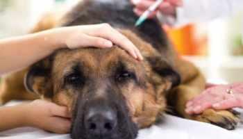 O que é doença de Addison em Cães