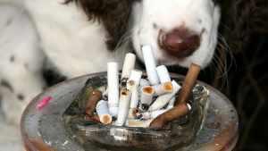 O que fazer quando cachorro come cigarro