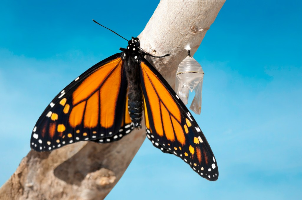 Monarch butterfly that has just emerged from cocoon