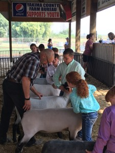 4H kids showing sheep