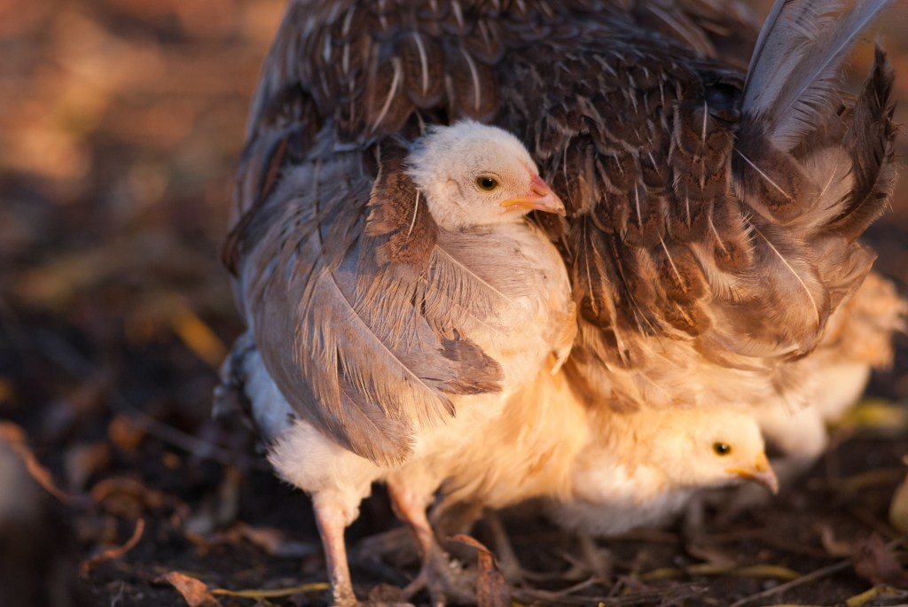 Mother hen with her chicks under her wings