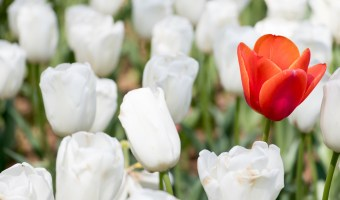 Red tulip growth among white tulip background