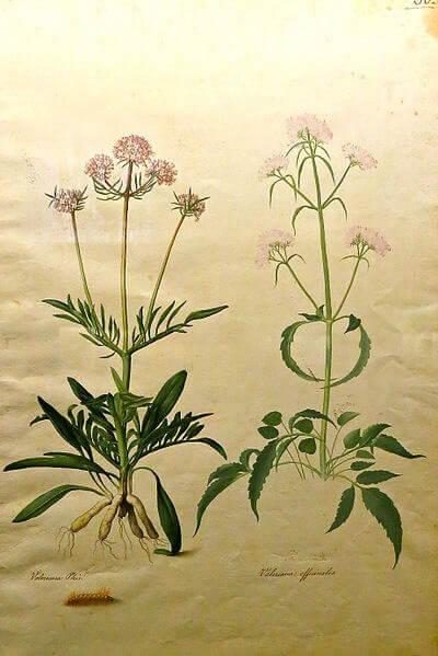 Baldrian - aus dieser Pflanze wird Baldrianblütenextrakt gewonnen