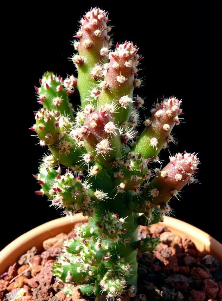 Austrocylindropuntia Subulata Fa Monstrose Cactus Jungle