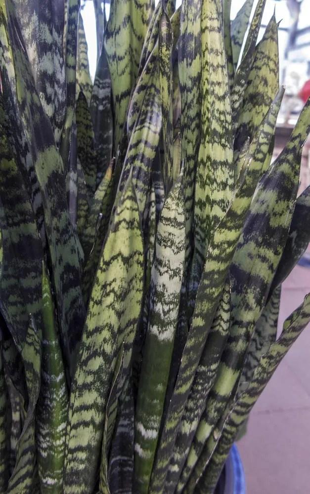 Sansevieria Quot Black Coral Quot Cactus Jungle