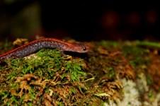 Wisconsin, Door County amphibians, nocturnal amphibians