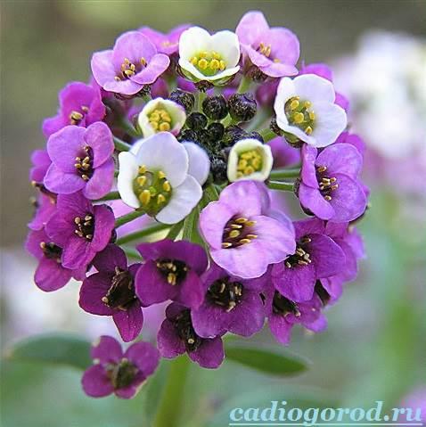 Алиссум-Описание-и-уход-за-цветком-алиссумом-4