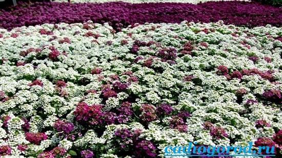 Алиссум-Описание-и-уход-за-цветком-алиссумом-7