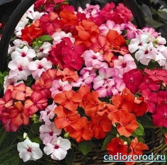 Бальзамин-цветок-Описание-и-уход-за-бальзамином-2