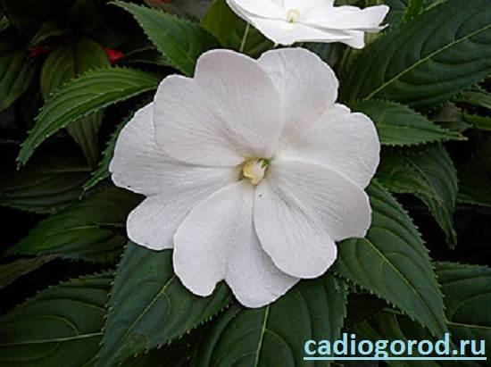 Бальзамин-цветок-Описание-и-уход-за-бальзамином-4