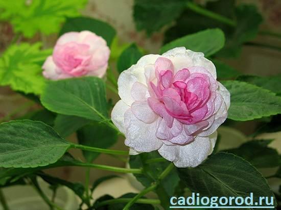 Бальзамин-цветок-Описание-и-уход-за-бальзамином-5