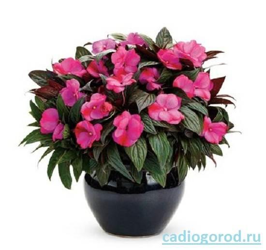 Бальзамин-цветок-Описание-и-уход-за-бальзамином-8