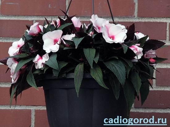 Бальзамин-цветок-Описание-и-уход-за-бальзамином-9