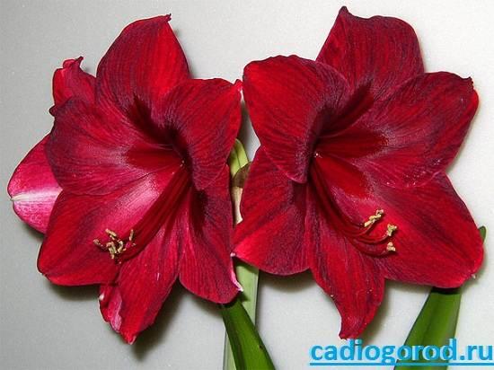 Гиппеаструм-Описание-и-уход-за-цветком-гиппеаструмом-6