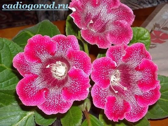 Глоксиния комнатная: фото цветов, описание, уход 59
