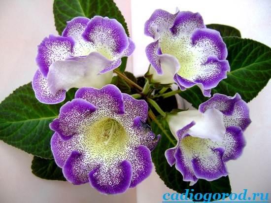 Глоксиния комнатная: фото цветов, описание, уход 33