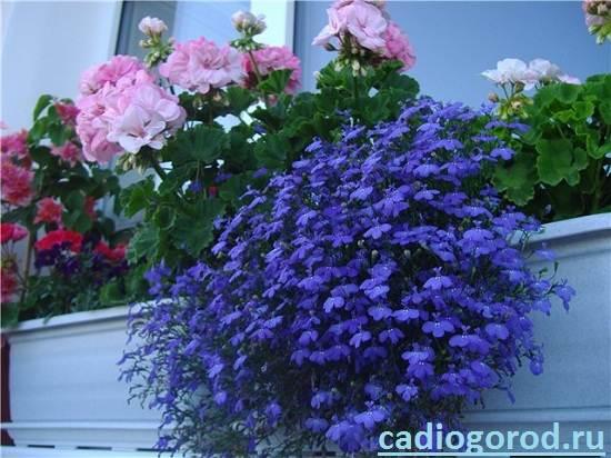 Лобелия-Описание-и-уход-за-цветком-лобелия-3
