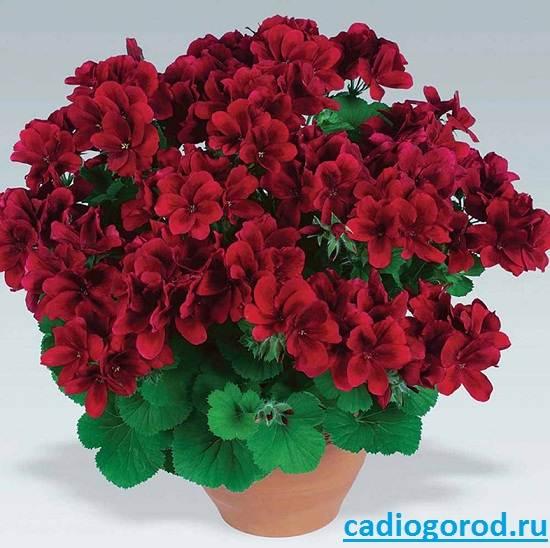Пеларгония фото виды цветок