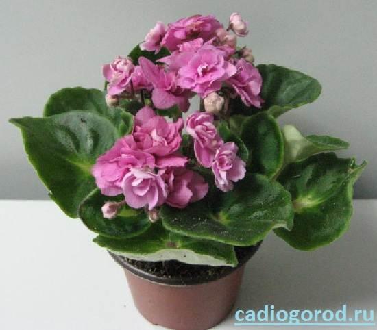 Сенполия-Описание-и-уход-за-цветком-сенполия-2