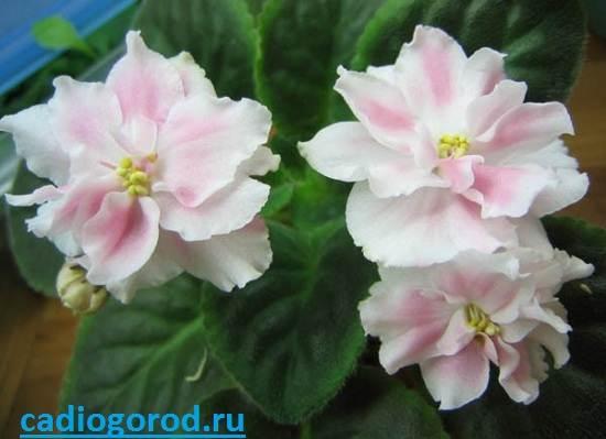Сенполия-Описание-и-уход-за-цветком-сенполия-6
