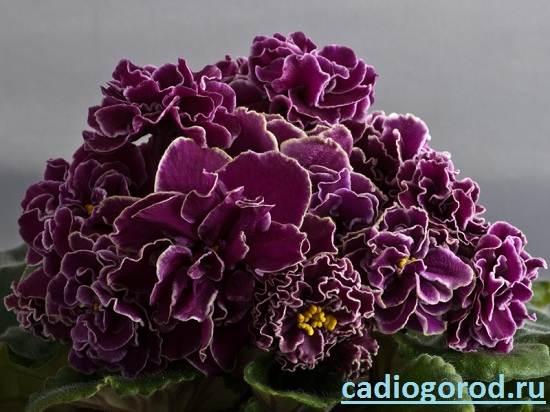 Сенполия-Описание-и-уход-за-цветком-сенполия-7