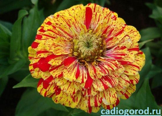 Циния-цветок-Описание-и-уход-за-цинией-4