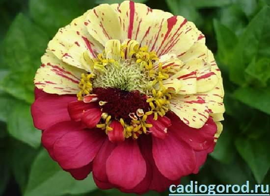 Циния-цветок-Описание-и-уход-за-цинией-5