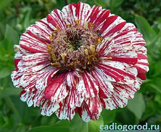 Циния-цветок-Описание-и-уход-за-цинией-7