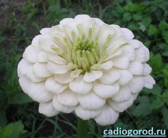 Циния-цветок-Описание-и-уход-за-цинией-8