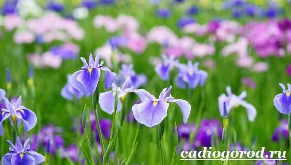 Ирис-Описание-и-уход-за-цветком-ирисом-1