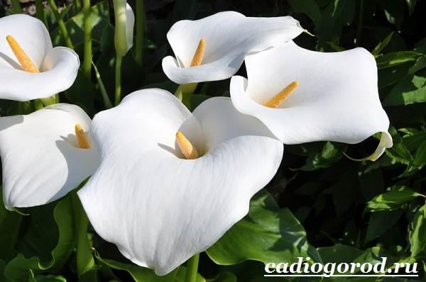 Каллы-цветы-Описание-и-уход-за-каллами-1