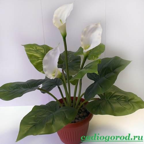 Каллы-цветы-Описание-и-уход-за-каллами-10