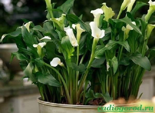 Каллы-цветы-Описание-и-уход-за-каллами-7