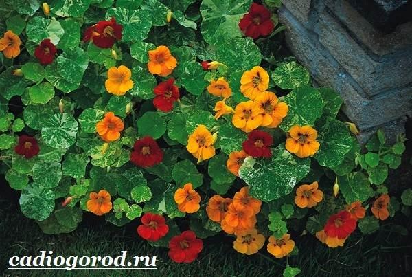Настурция-цветок-Описание-и-уход-за-настурцией-1