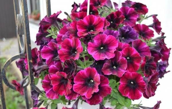 Петуния-Описание-и-уход-за-цветком-петуния-10