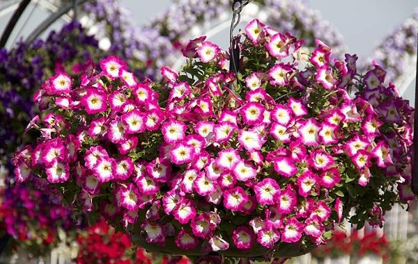 Петуния-Описание-и-уход-за-цветком-петуния-9