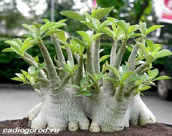 Адениум-цветок-Выращивание-и-уход-за-цветком-адениум-3