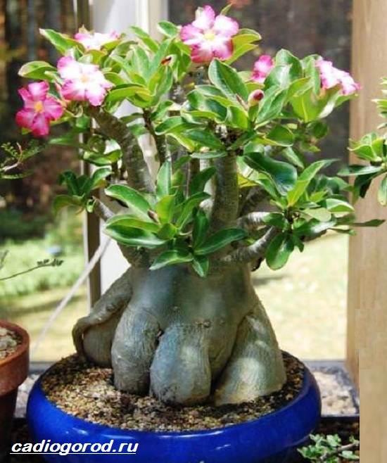 Адениум-цветок-Выращивание-и-уход-за-цветком-адениум-8