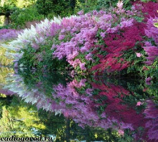 Астильба-цветок-Выращивание-астильбы-Уход-за-астильбой-3