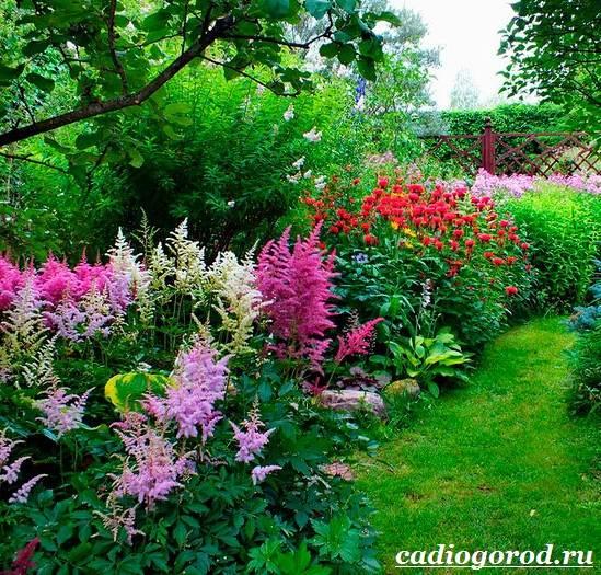 Астильба-цветок-Выращивание-астильбы-Уход-за-астильбой-4