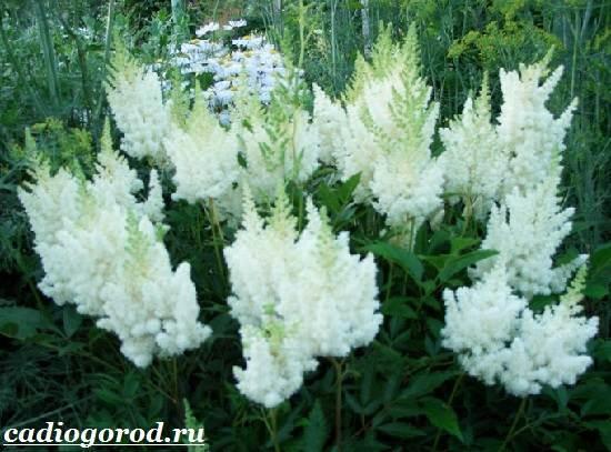 Астильба-цветок-Выращивание-астильбы-Уход-за-астильбой-6