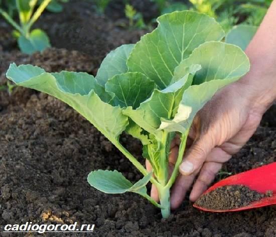 Выращивание-капусты-Как-и-когда-сажать-капусту-Уход-за-капустой-5