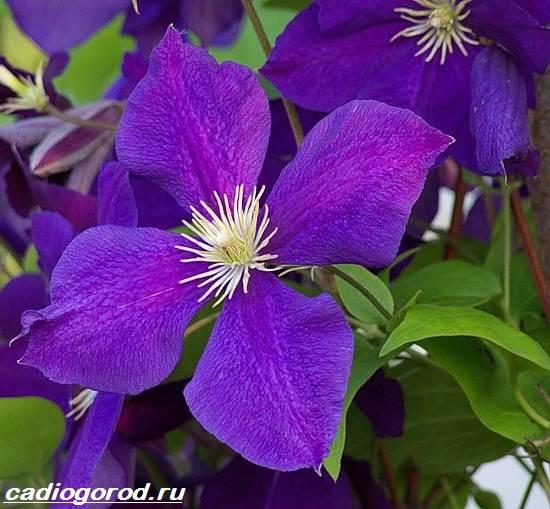 Клематис-цветок-Выращивание-клематиса-Уход-за-клематисом-1