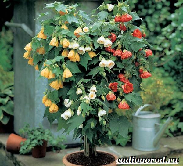 Абутилон-цветок-Выращивание-абутилона-Уход-за-абутилоном-10