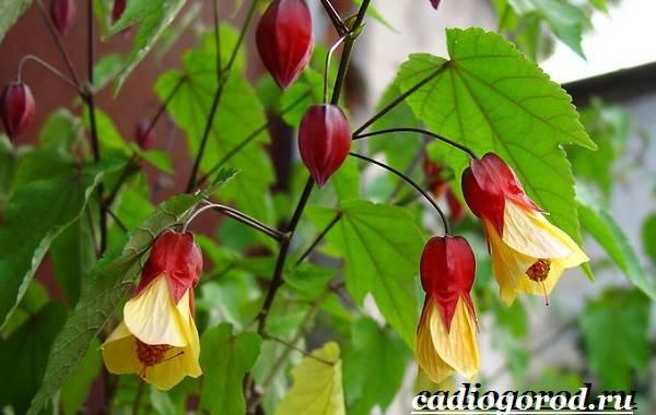 Абутилон-цветок-Выращивание-абутилона-Уход-за-абутилоном-14