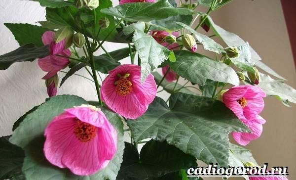 Абутилон-цветок-Выращивание-абутилона-Уход-за-абутилоном-21