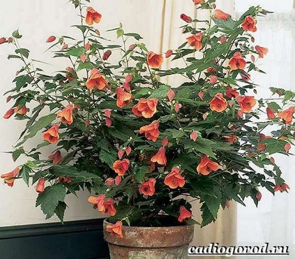 Абутилон-цветок-Выращивание-абутилона-Уход-за-абутилоном-9