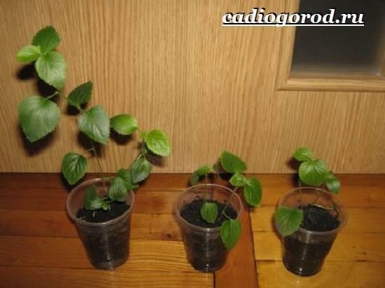 Акалифа-цветок-Выращивание-акалифы-Уход-за-акалифой-11