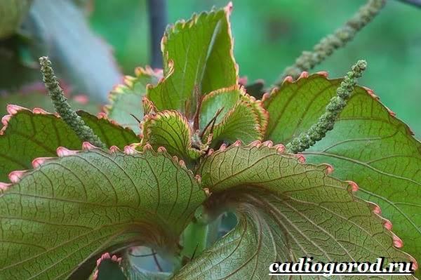 Акалифа-цветок-Выращивание-акалифы-Уход-за-акалифой-3