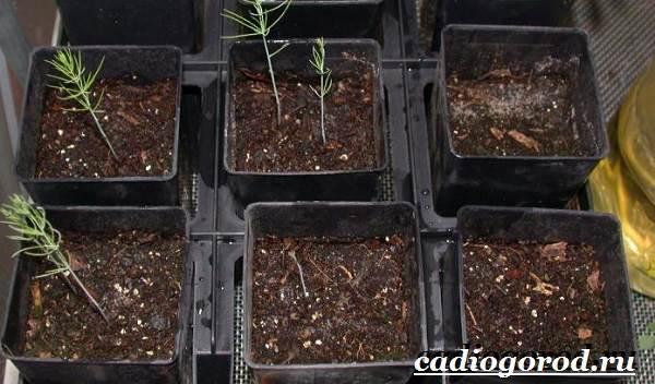Аспарагус-цветок-Выращивание-аспарагуса-Уход-за-аспарагусом-11